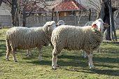 foto of sheep  - Sheep herd grazing - JPG