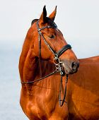 stock photo of bay horse  - Close - JPG