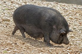 foto of pot-bellied  - Black Pot-bellied pigs herbivorous. Sunny day outdoors. ** Note: Soft Focus at 100%, best at smaller sizes - JPG