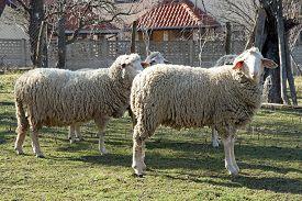 pic of baby sheep  - Sheep herd grazing - JPG