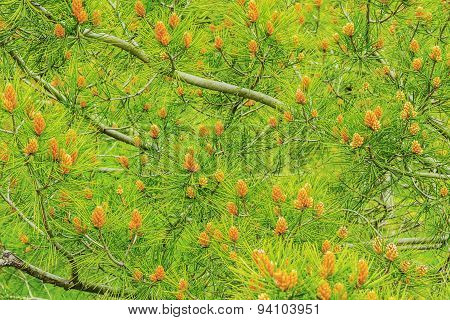 Background With Pine Tree Branches.