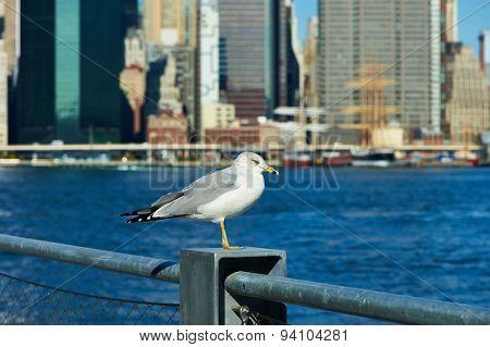 Seagull with Manhattan skyline in background, New York City.
