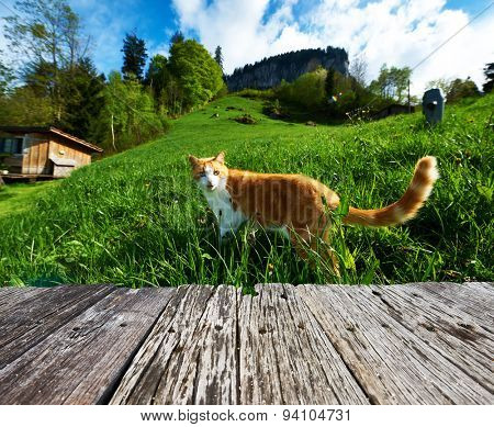 Cat walks in the meadow at Swiss Alps