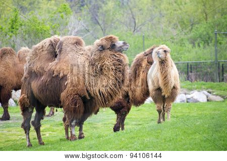 Bactrian Camels On A Zoo
