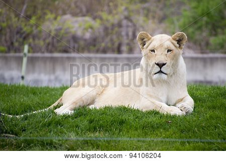 White Lioness In Toronto Zoo