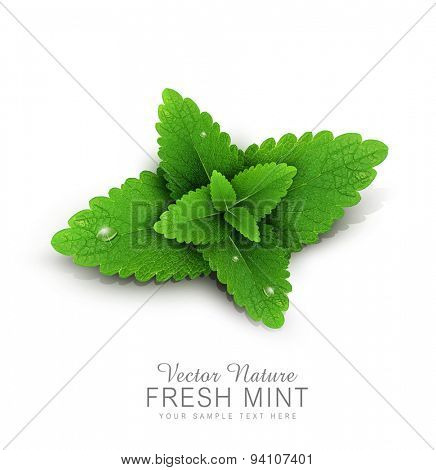 Vector fresh mint leaves with dew drops. isolated on white background (element for design)