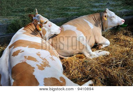cows in relax