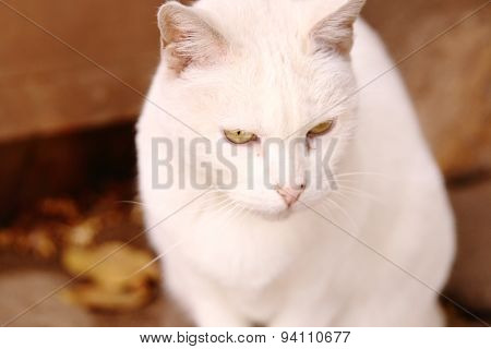 Cute White Cat With Brigth Yellow Eyes