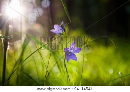 Bluebells In The Forest At Sunset