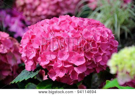 Beautiful Pink Hydrangea Flowers In Palmen Garten, Frankfurt Am Main, Hessen, Germany