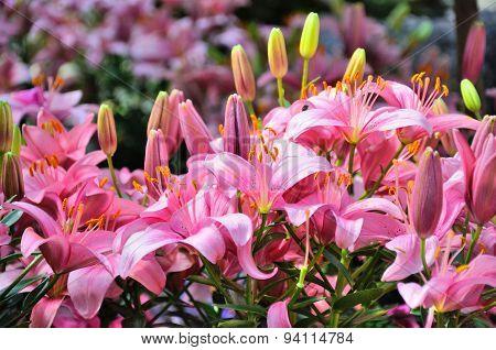 Pink Lily Flowers In Closeup In Palmen Garten, Frankfurt Am Main, Hessen, Germany
