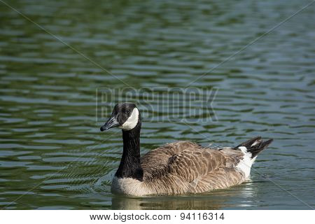 A Canada Goose (Branta canadensis) swims across the surface of a pond.