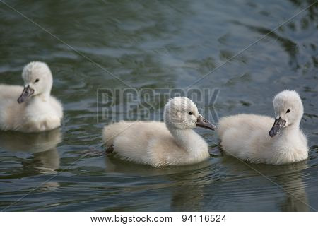 Three Mute Swan Cygnets Swimming On A Pond