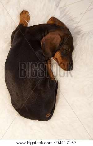 Sweet puppy sleeping on fur blanket.