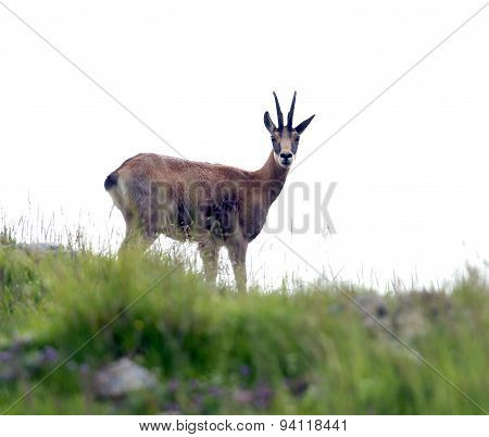 Scary Chamois Check Carefully On The Rocks Of The Mountain In Summer