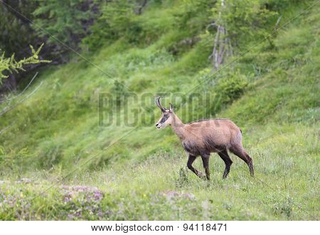 Chamois Grazing Meadows With Grass In Summer