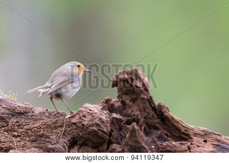 European Robin bird in forest