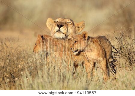 Lioness with young lion cubs (Panthera leo), Kalahari desert, South Africa