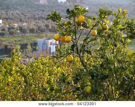 Ripe Lemons Hanging On A Tree Italy