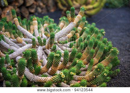 View of cactus garden, gardin de cactus in Guatiza, Lanzarote, Canary Islands, Spain