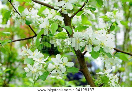 White Flowers Of An Apple Tree In Fulda, Hessen, Germany