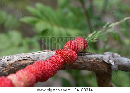 Wild strawberries on a straw