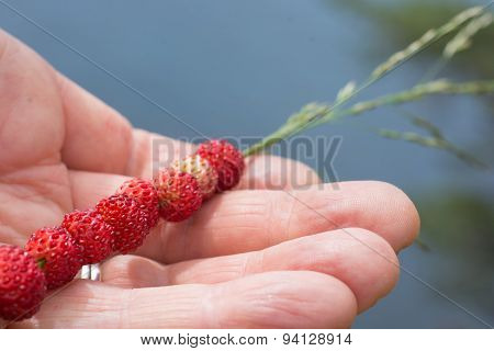 Wild strawberries on a straw held in a hand