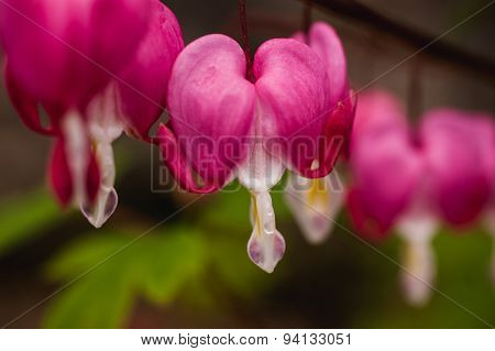 Bleeding Hearts Pink Flowers Close Up