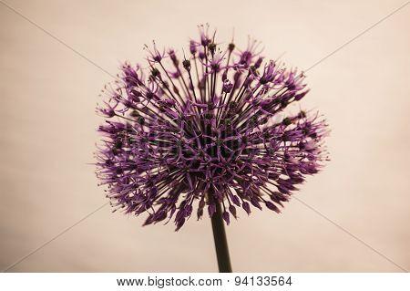 Allium Decorative Onion- Purple Flower Like A Ball