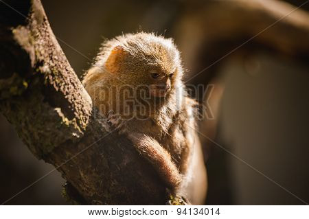 Pygmy Marmoset The Smallest Monkeys In The World Closeup