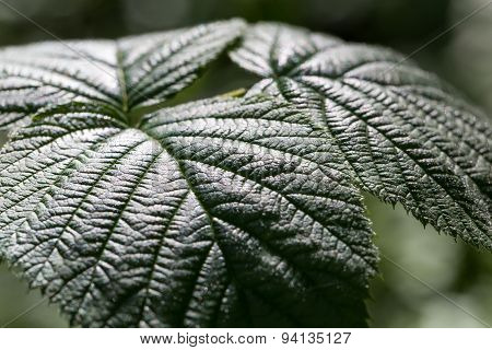 Close Up Of Growing Raspberry Leaf