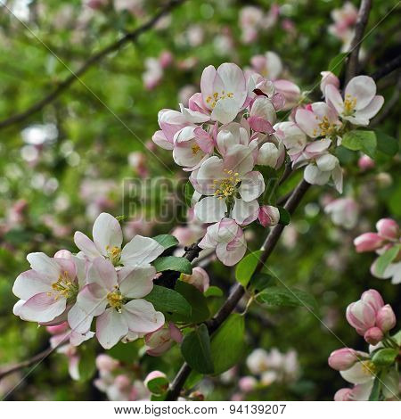 Blossoming Branch Of An Apple-tree In The   Garden.
