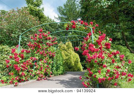 Rose Arc Bush