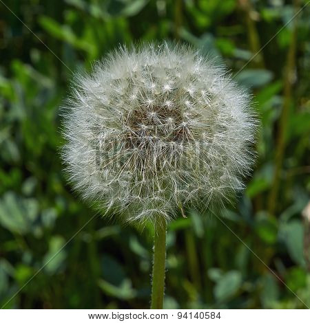 Dandelions Faded And Covered With Seeds.