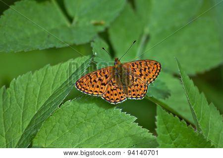 Perlamutrovka Butterfly On Leaves .