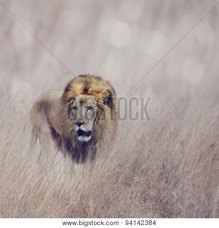 Male Lion Walking In The Grass