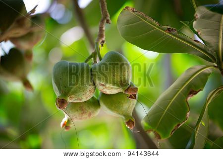 Fruits Barringtonia, Barringtonia asiatica also known as BOTONG or Sea Poison Tree