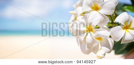 White tropical flower, frangipani  over beautiful beach