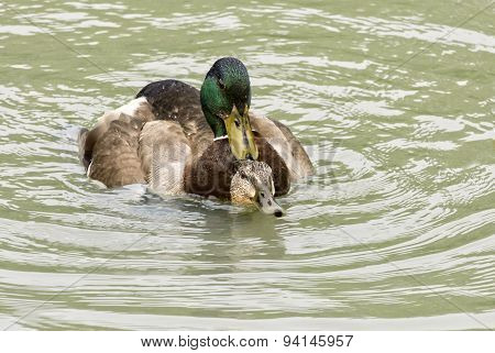 Mallard Ducks Mating