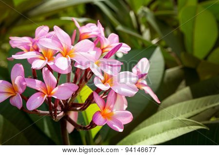 frangipani flower or Plumeria, tropical flower