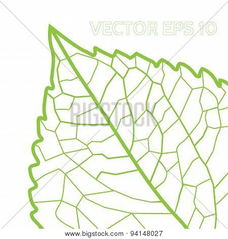 green leaf with veins on a white background
