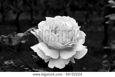 White rose in my garden