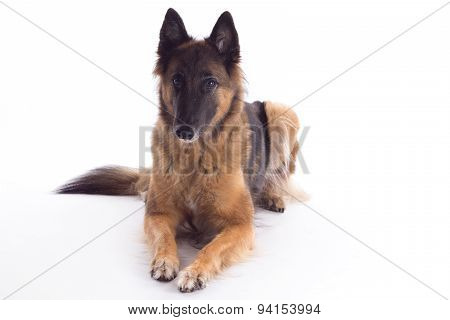 Belgian Shepherd Tervuren Bitch Laying Down, White Studio Background