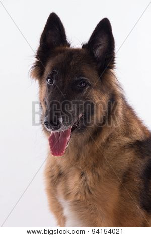 Belgian Shepherd Tervuren Bitch Sitting, Headshot, White Studio Background