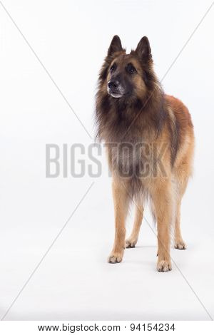 Belgian Shepherd Tervuren Dog Standing, White Studio Background