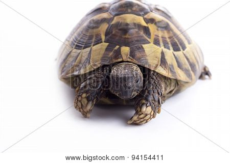 Greek Land Turtoise, Testudo Hermanni, White Studio Background
