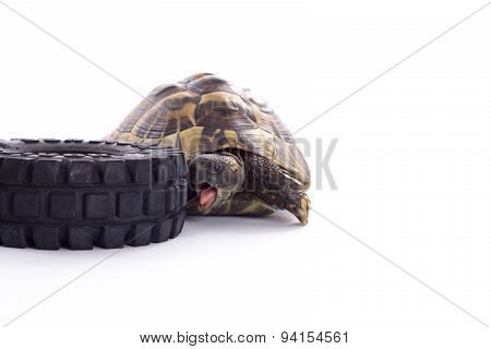 Greek Land Tortoise, Testudo Hermanni, White Studio Background