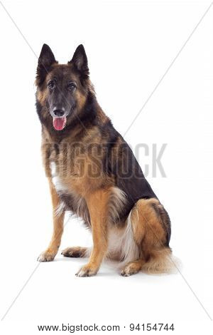 Belgian Shepherd Tervuren Bitch