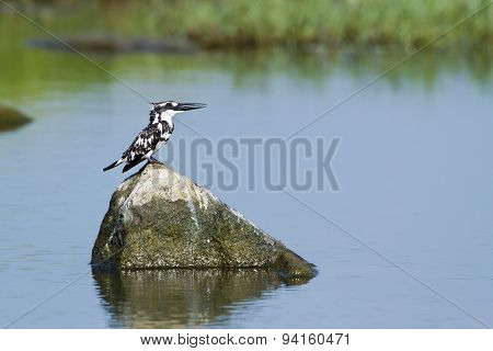 Three Pied Kingfisher In Pottuvil, Sri Lanka