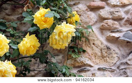 Yellow Roses In The Flower Garden In Spring